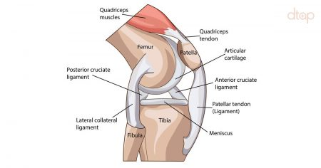 Anatomy-of-the- Knee