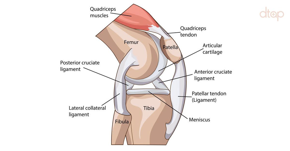Anatomy-of-the- Knee
